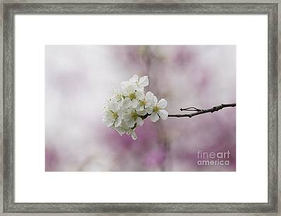 Cherry Blossoms - Out On A Limb Framed Print