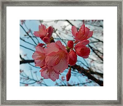 Cherry Blossoms Framed Print by Pamela Walton