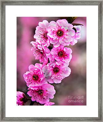 Cherry Blossoms Framed Print by Robert Bales