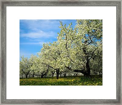 Cherry Blossoms Framed Print by Thomas Pettengill