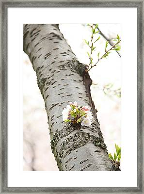 Cherry Blossoms - Washington Dc - 0113106 Framed Print