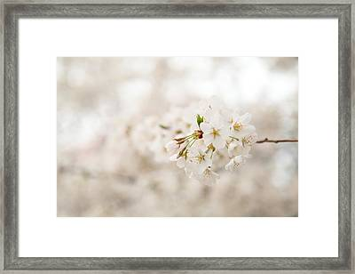 Cherry Blossoms - Washington Dc - 0113108 Framed Print