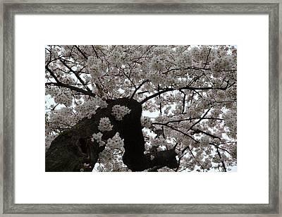 Cherry Blossoms - Washington Dc - 0113114 Framed Print by DC Photographer