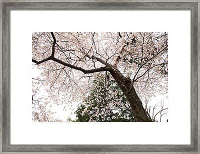 Cherry Blossoms - Washington Dc - 0113115 Framed Print by DC Photographer