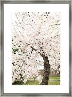 Cherry Blossoms - Washington Dc - 0113119 Framed Print by DC Photographer