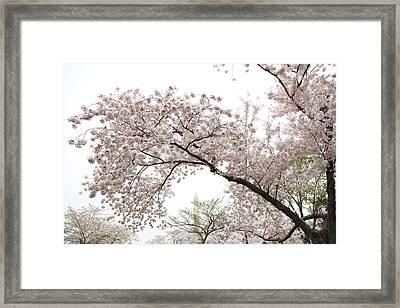 Cherry Blossoms - Washington Dc - 0113122 Framed Print