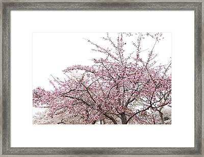 Cherry Blossoms - Washington Dc - 0113123 Framed Print by DC Photographer