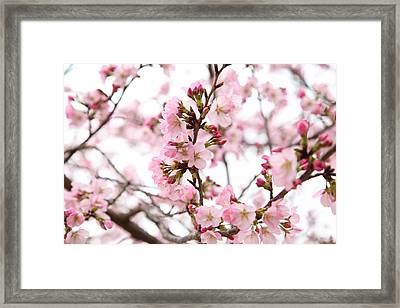 Cherry Blossoms - Washington Dc - 0113124 Framed Print by DC Photographer
