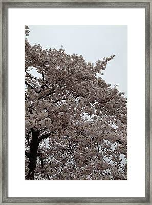 Cherry Blossoms - Washington Dc - 0113125 Framed Print by DC Photographer