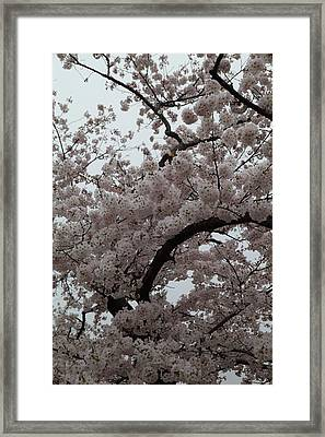 Cherry Blossoms - Washington Dc - 0113126 Framed Print by DC Photographer