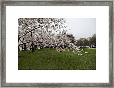 Cherry Blossoms - Washington Dc - 0113130 Framed Print