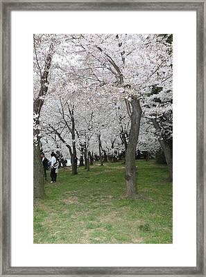 Cherry Blossoms - Washington Dc - 0113131 Framed Print by DC Photographer
