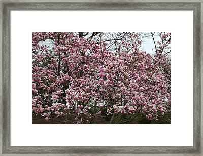 Cherry Blossoms - Washington Dc - 0113133 Framed Print by DC Photographer