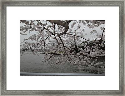 Cherry Blossoms - Washington Dc - 0113134 Framed Print by DC Photographer