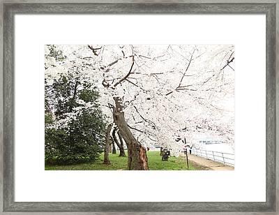 Cherry Blossoms - Washington Dc - 0113135 Framed Print by DC Photographer