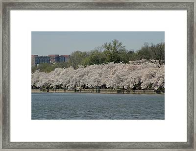 Cherry Blossoms - Washington Dc - 011334 Framed Print