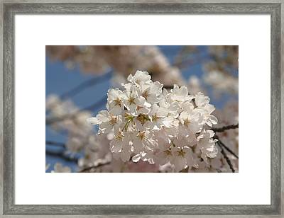 Cherry Blossoms - Washington Dc - 011339 Framed Print by DC Photographer