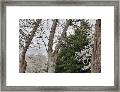 Cherry Blossoms - Washington Dc - 011353 Framed Print by DC Photographer