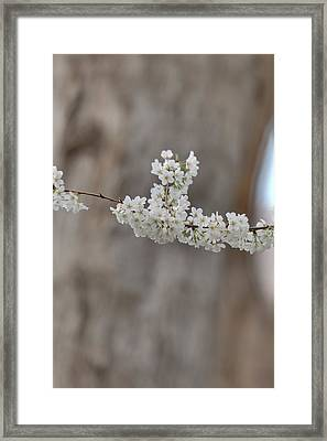 Cherry Blossoms - Washington Dc - 011355 Framed Print by DC Photographer
