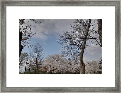 Cherry Blossoms - Washington Dc - 011356 Framed Print by DC Photographer