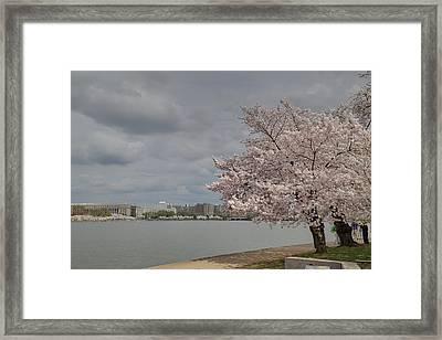 Cherry Blossoms - Washington Dc - 011361 Framed Print