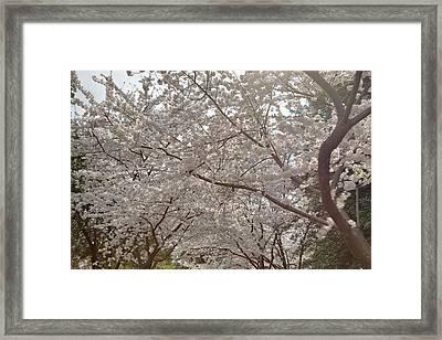 Cherry Blossoms - Washington Dc - 011363 Framed Print by DC Photographer