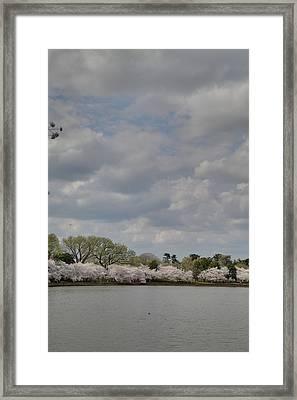 Cherry Blossoms - Washington Dc - 011365 Framed Print by DC Photographer