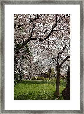 Cherry Blossoms - Washington Dc - 011369 Framed Print