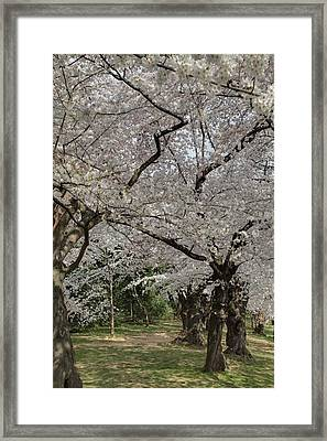 Cherry Blossoms - Washington Dc - 011374 Framed Print by DC Photographer