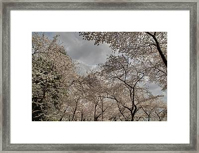 Cherry Blossoms - Washington Dc - 011377 Framed Print by DC Photographer