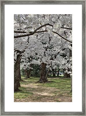 Cherry Blossoms - Washington Dc - 011383 Framed Print by DC Photographer