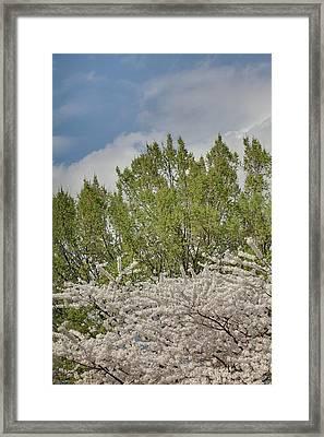 Cherry Blossoms - Washington Dc - 011387 Framed Print