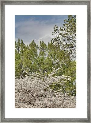 Cherry Blossoms - Washington Dc - 011388 Framed Print by DC Photographer