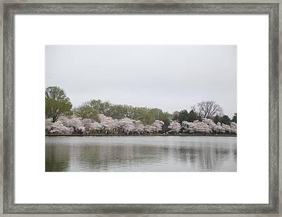Cherry Blossoms - Washington Dc - 011395 Framed Print by DC Photographer