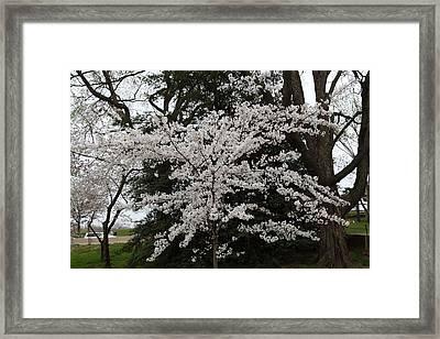 Cherry Blossoms - Washington Dc - 011398 Framed Print by DC Photographer