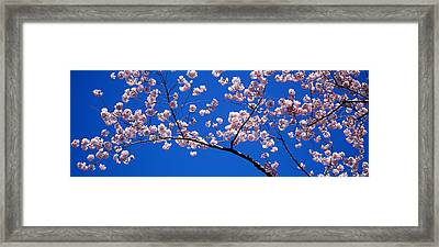Cherry Blossoms Washington Dc Usa Framed Print by Panoramic Images