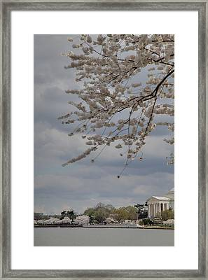 Cherry Blossoms With Jefferson Memorial - Washington Dc - 011312 Framed Print by DC Photographer