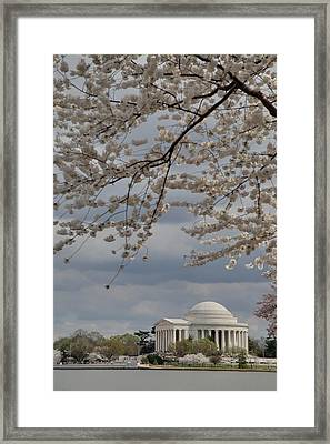 Cherry Blossoms With Jefferson Memorial - Washington Dc - 011313 Framed Print