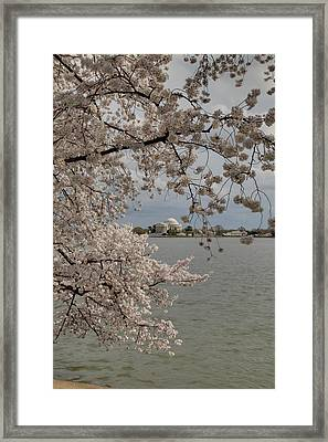 Cherry Blossoms With Jefferson Memorial - Washington Dc - 011320 Framed Print