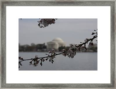 Cherry Blossoms With Jefferson Memorial - Washington Dc - 01134 Framed Print