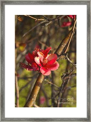 Cherry Blossoom Tree Framed Print