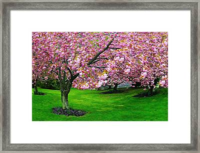 Cherry Days Framed Print