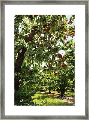 Cherry Orchard  Framed Print by Carol Groenen