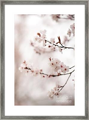 Cherry Plum Blossom Framed Print by Anne Gilbert