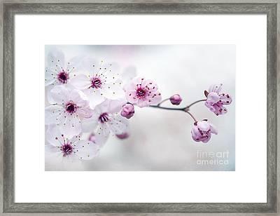 Cherry Plum Blossom Framed Print by Jacky Parker