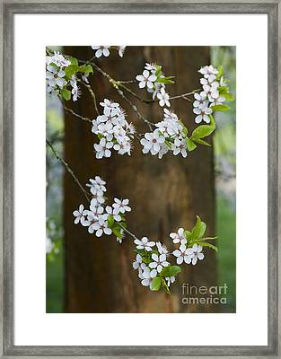 Cherry Plum Tree Blossom Framed Print