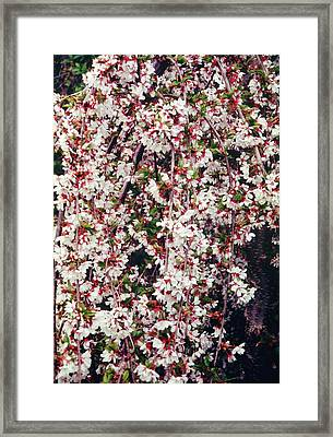 Cherry (prunus 'snow Showers') Framed Print by Mrs W D Monks/science Photo Library