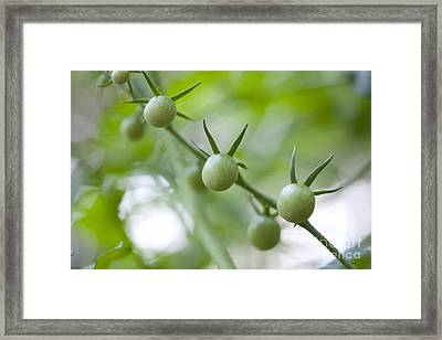 Cherry Tomatoes Framed Print by Kay Pickens