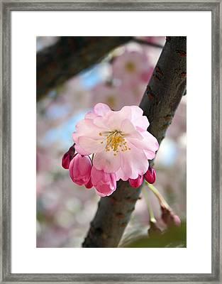 Cherry Tree Blossom Series 801 Framed Print