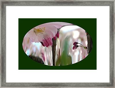 Cherry Tree Blossom Series 803 Framed Print